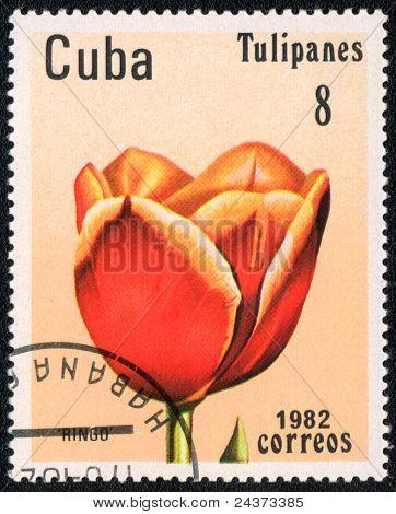 Tulip Ringo