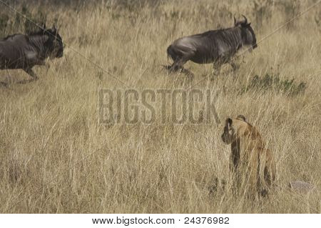 Lioness hunting Wildebeest in the Masai Mara