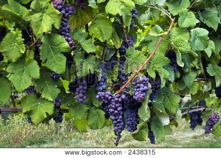 Ripe Blue Grapes On The Vine