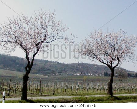 Almond Blossom Time In Germany