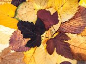 Top View Of Natural Autumn Background From Pied Fallen Leaves Of Viburnum, Lime, Elm Trees poster