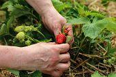 Strawberries / Freshly Picked Strawberries / Strawberries / Freshly Picked Strawberries poster