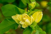 Flower Blossom On Natural Background. Blossoming Flowers With Yellow Petals. Yellow Bloom And Green  poster
