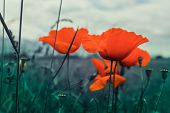 Beautiful Poppy Flowers On The Meadow, Mountain Nature, Summertime. Photo Depicts Red Poppies, Color poster