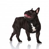 side view of adorable black panting french bulldog looking up and behind while walking to side on wh poster