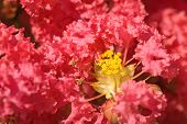 image of crepe myrtle  - Lovely plush pink flowers on a crepe myrtle tree - JPG