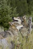stock photo of north american gray wolf  - Wolves display pack greetings as they emerge from the forest - JPG