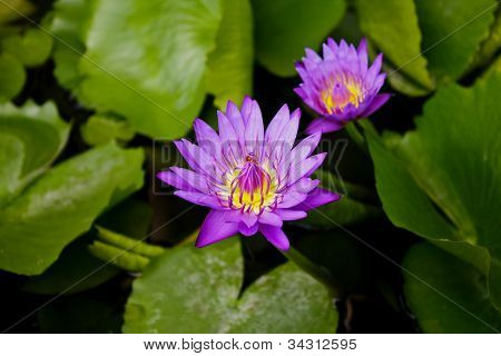 Purple Lotus In The Park.