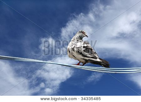 A beautiful pigeon on a clear sky