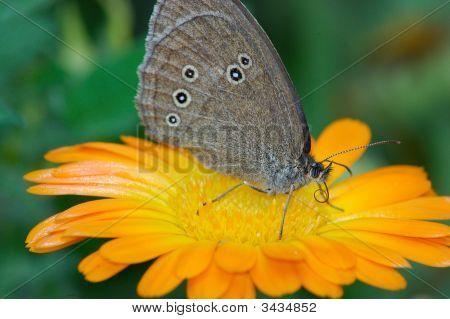 Buttefly Proboscis