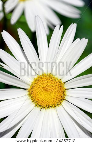 Floral Daisy Background