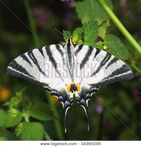 Scarce Swallowtail (Iphiclides podalirius). Close-up