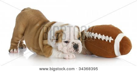 puppy playing - english bulldog puppy playing with ball on white background