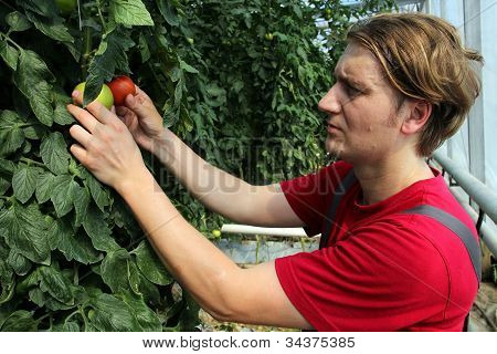 Greenhouse Worker