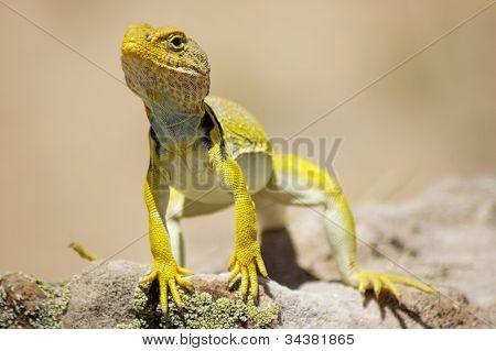 Yellow Lizard/ Gecko - Close Up