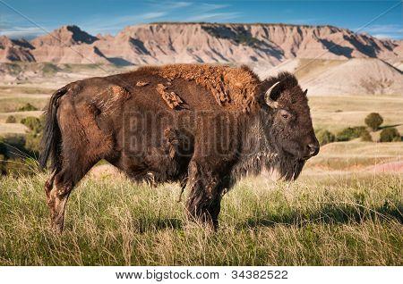 Badlands Bull do Bisão-americano (Bison Bison)