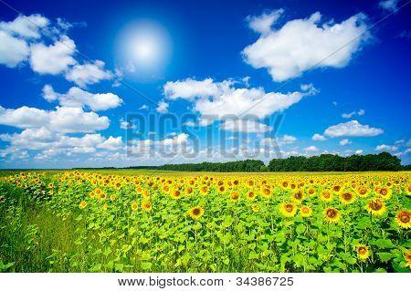 Fine Image Of Golden Plantation Sunflowers.