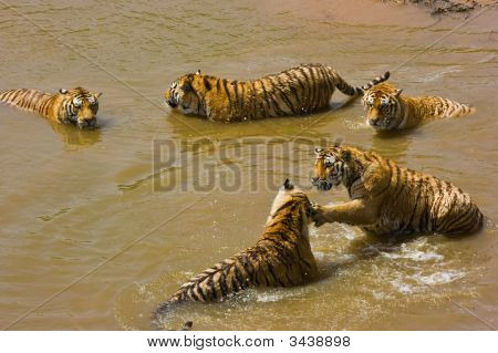 Many Tigers In Water
