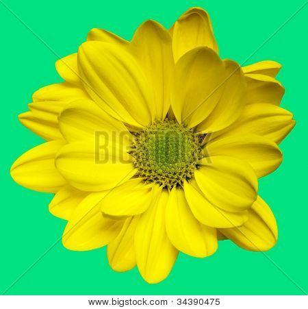 Isolated yellow chrysanthemum flower