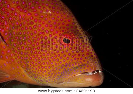 Lyretail grouper