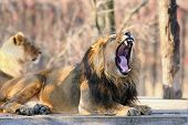 The Asiatic Lion (panthera Leo Leo) Yawning On A Wooden Mat. A Rare Indian Lion Lying In The Paddock poster