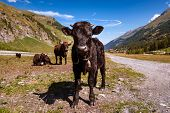 Young Black Herens Cow With Traditional Swiss Bell Standing Up Looking Straight Into The Camera, Swi poster