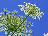 pic of gentle giant  - Giant inflorescences of Hogweed plant against blue sky - JPG
