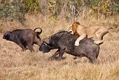 foto of bull-riding  - Male lion attack huge buffalo bull while riding on his back - JPG