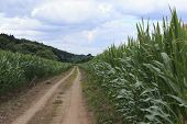 Country Road Through Fields. Corn Fields In Mid-summertime. Green Fields Landscape In Countryside. A poster