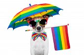 stock photo of transgendered  - gay dog with umbrella and glasses all in rainbow colors - JPG