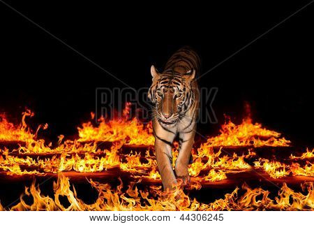 Wild tiger in blazing flames over black background