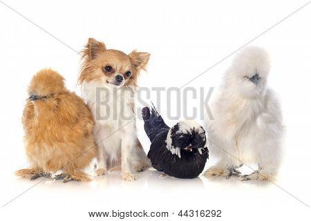 Bantam Chicken And Chihuahua