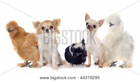 Bantam Chicken And Chihuahuas