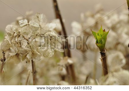Shoot of a hydrangea