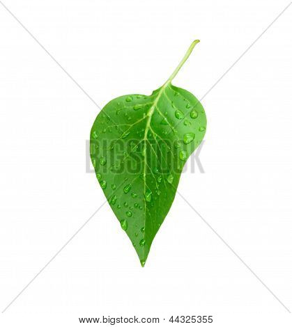 bright green leaf with water drops