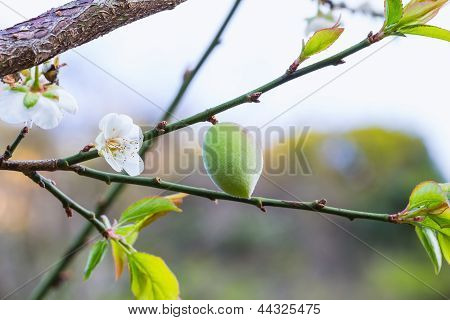 Chinese Plum Fruit
