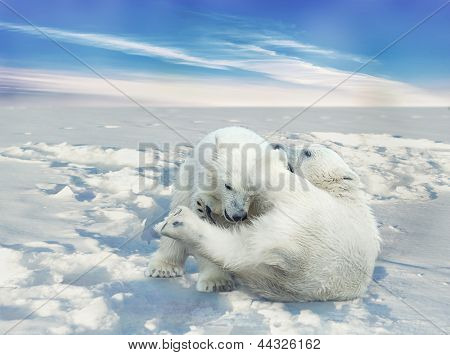 Two little white polar bears fighting in nature
