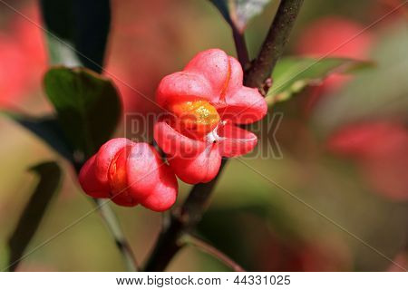 Spindle Berries