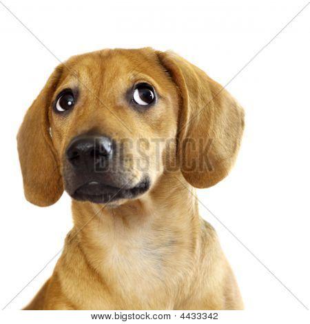 Cachorro bassê