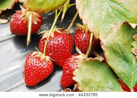 strawberry ready to be picked