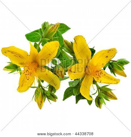 Common St. Johnswort flower ( tutsan ) isolated on white background