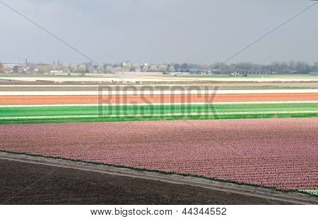 Fields Of Tulips And Hyacinths.