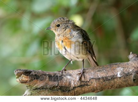 Young Robin