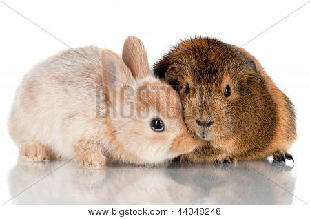 adorable baby rabbit with a guinea pig