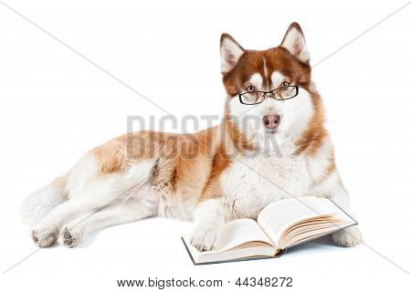 siberian husky dog in glasses with a book