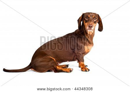 brown dachshund dog