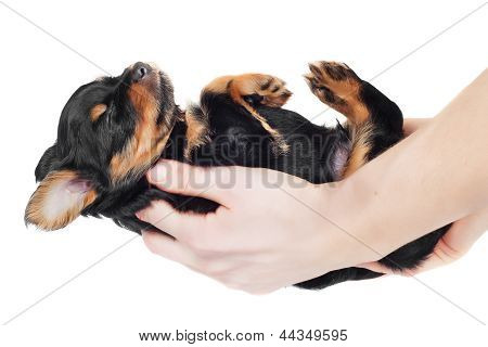 hands holding a small sleeping puppy