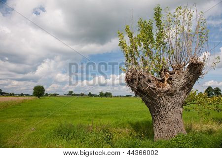Pollard willow in Dutch landscape