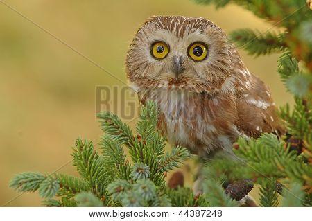 Northern Saw-whet Owl (aegolius Acadicus)