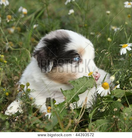 Nice Little Puppy Of Australian Shepherd In Flowers